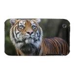 Sumatran Tiger (Panthera tigris sumatrae) iPhone 3 Case-Mate Case