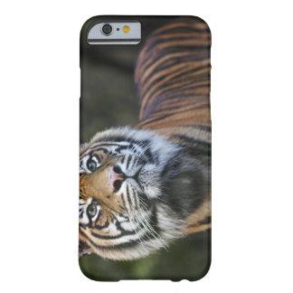 Sumatran Tiger (Panthera tigris sumatrae) in Barely There iPhone 6 Case