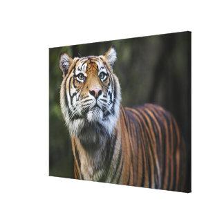 Sumatran Tiger (Panthera tigris sumatrae) in Canvas Print