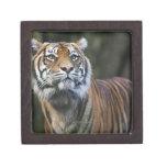 Sumatran Tiger (Panthera tigris sumatrae) in Gift Box