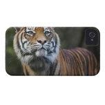 Sumatran Tiger (Panthera tigris sumatrae) in iPhone 4 Case