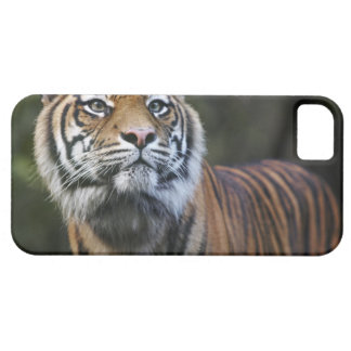 Sumatran Tiger (Panthera tigris sumatrae) in iPhone SE/5/5s Case