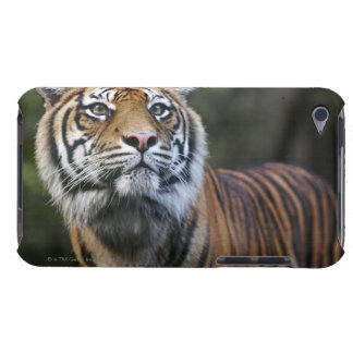 Sumatran Tiger (Panthera tigris sumatrae) in iPod Touch Case-Mate Case