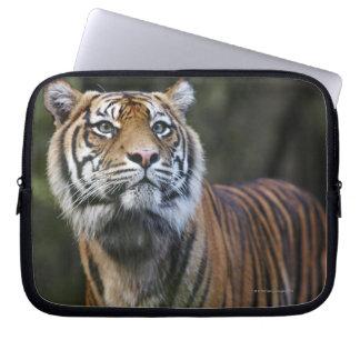 Sumatran Tiger (Panthera tigris sumatrae) in Laptop Sleeve