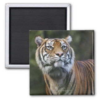 Sumatran Tiger (Panthera tigris sumatrae) in Magnet