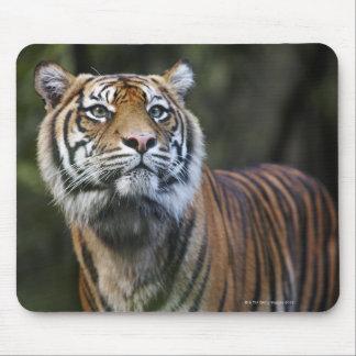 Sumatran Tiger (Panthera tigris sumatrae) in Mouse Pad