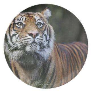 Sumatran Tiger (Panthera tigris sumatrae) in Plate