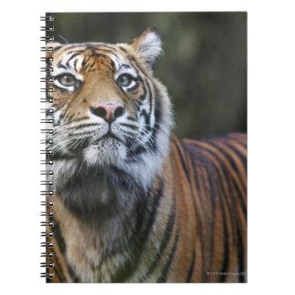 Sumatran Tiger (Panthera tigris sumatrae) in Spiral Notebook