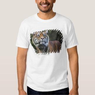 Sumatran Tiger (Panthera tigris sumatrae) in T-Shirt