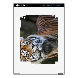 Sumatran Tiger (Panthera tigris sumatrae) iPad 3 Skins