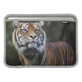 Sumatran Tiger (Panthera tigris sumatrae) MacBook Sleeves