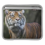 Sumatran Tiger (Panthera tigris sumatrae) Sleeves For iPads