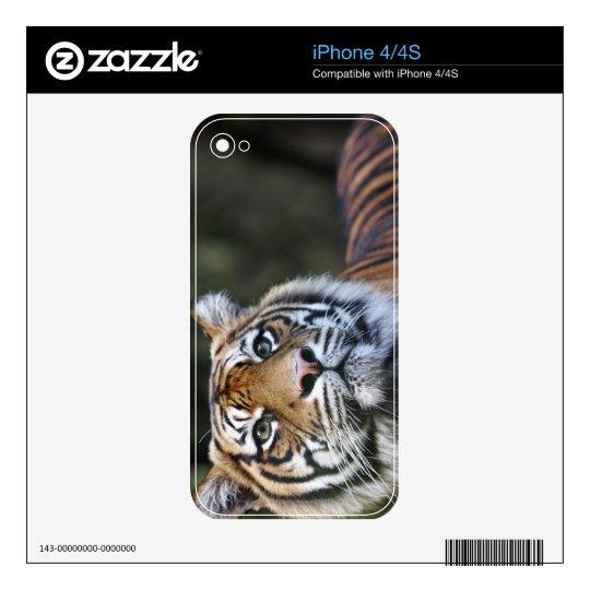 Sumatran Tiger (Panthera tigris sumatrae) iPhone 4S Decal