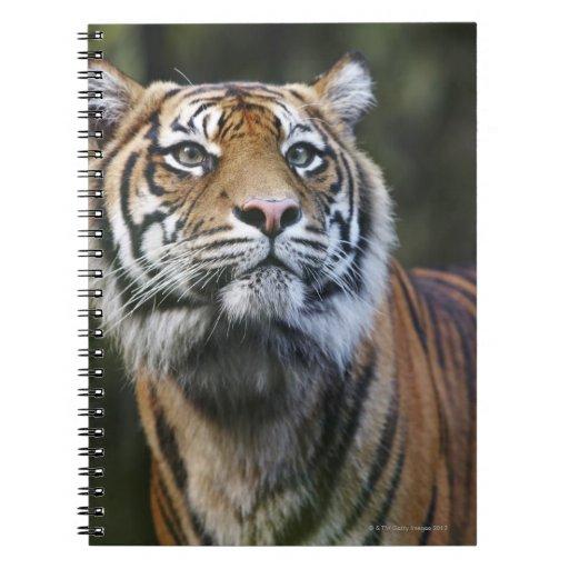 Sumatran Tiger (Panthera tigris sumatrae) Journals