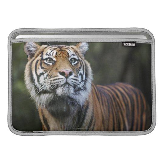 Sumatran Tiger (Panthera tigris sumatrae) MacBook Sleeve