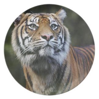 Sumatran Tiger (Panthera tigris sumatrae) Melamine Plate