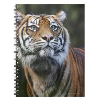 Sumatran Tiger (Panthera tigris sumatrae) Notebook