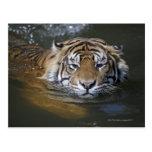 Sumatran tiger, Panthera tigris sumatrae Postcards
