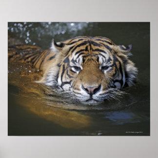 Sumatran tiger, Panthera tigris sumatrae Poster