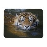 Sumatran tiger, Panthera tigris sumatrae Rectangle Magnets