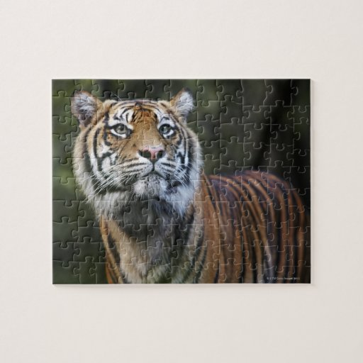 Sumatran Tiger (Panthera tigris sumatrae) Jigsaw Puzzles
