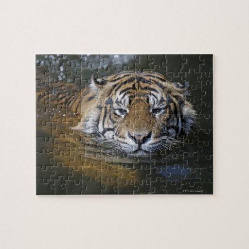 Sumatran tiger, Panthera tigris sumatrae Puzzles