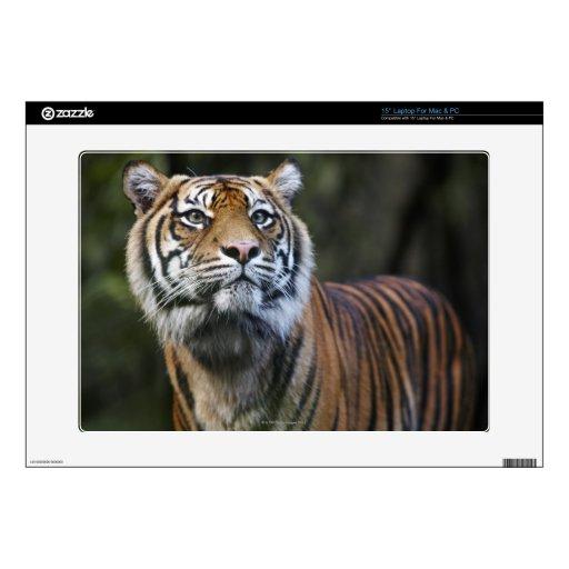 """Sumatran Tiger (Panthera tigris sumatrae) Skins For 15"""" Laptops"""