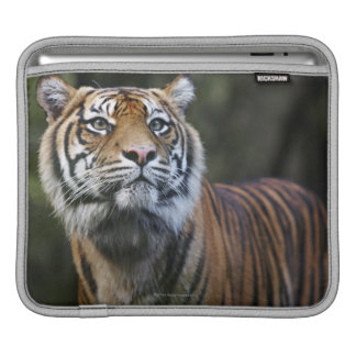 Sumatran Tiger (Panthera tigris sumatrae) Sleeve For iPads