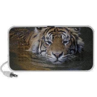Sumatran tiger, Panthera tigris sumatrae Mini Speakers