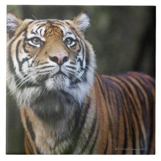 Sumatran Tiger (Panthera tigris sumatrae) Ceramic Tiles