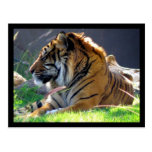 Sumatran Tiger Post Cards