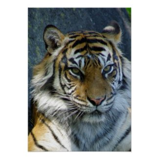 Sumatran Tiger print print
