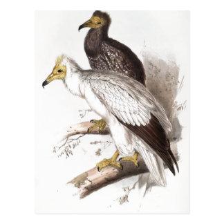 Summary Description Neophron percnopterus (Egyptia Postcard
