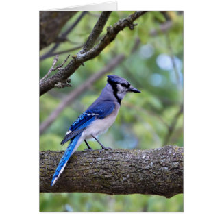 Summer Blue Jay Greeting Cards