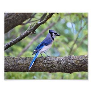 Summer Blue Jay Photo Print