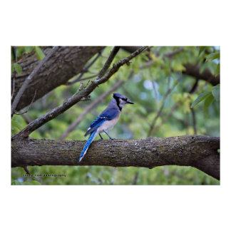 Summer Blue Jay Posters