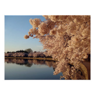 Summer Cherry Blossoms Photo Nature Wall Poster