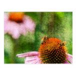 Summer Echinacea Postcard