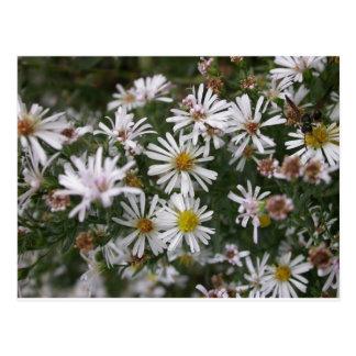 summer flowers - aster postcard