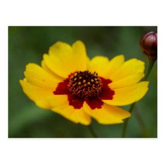 summer flowers - coreopsis postcard
