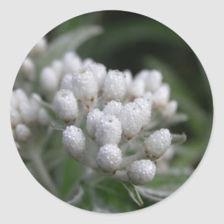 Summer flowers - pearly everlasting with dew classic round sticker