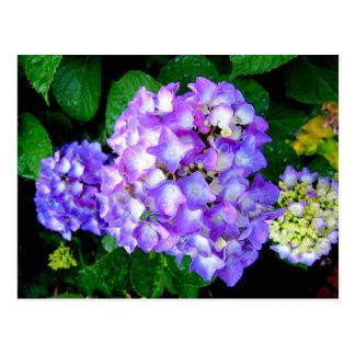 Summer Hydrangea Postcards
