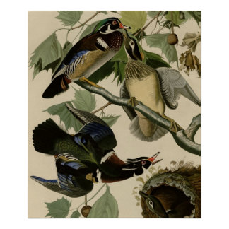 Summer or Wood Duck Posters