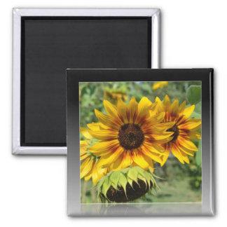 Summer Sunflowers Reflection Magnet