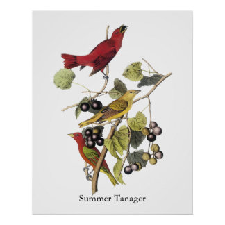 Summer Tanager by John Audubon Posters