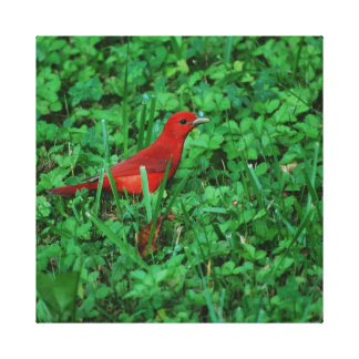 Summer Tanager in the Grass Canvas Print
