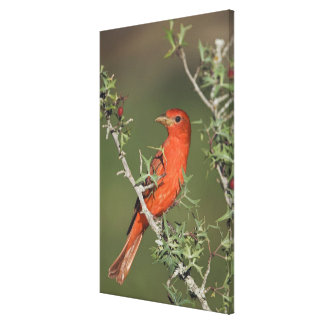 Summer Tanager, Piranga rubra, male eating Canvas Print