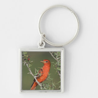 Summer Tanager, Piranga rubra, male eating Keychains