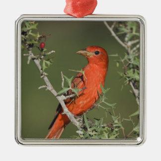 Summer Tanager, Piranga rubra, male eating Metal Ornament