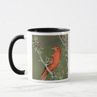 Summer Tanager, Piranga rubra, male eating Mug